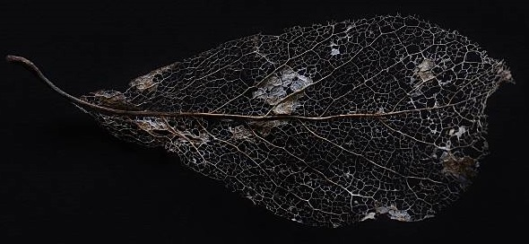 A beautifully dried leaf isolated on black depicts nature's beauty.